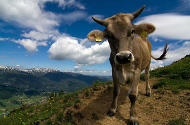 Empuja la vaca