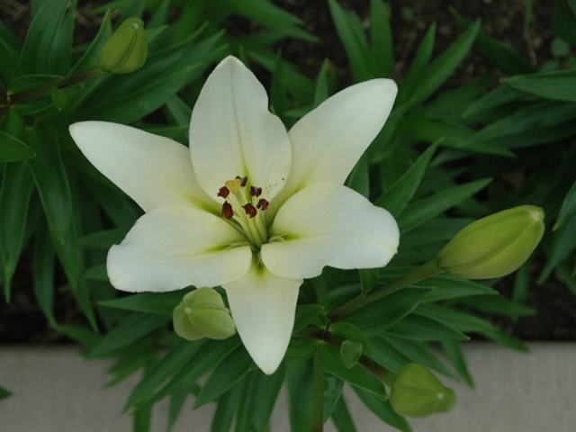 lily pic