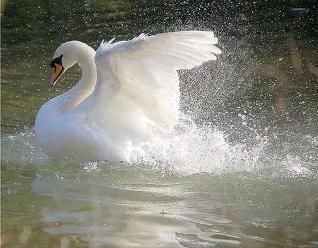 swan dignity