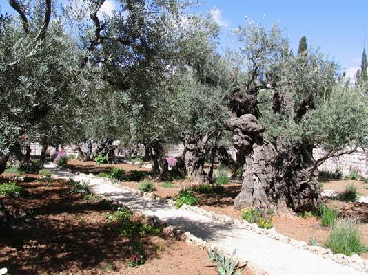 "The ancient olive trees of Gethsemane are the ""silent witnesses"" to Christs agony. Eight of them have been dated to show that they are more than 2000 years old so they would have been there as Jesus prayed."